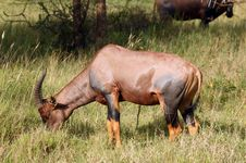 Free Topi - African Antelope Stock Images - 8192844