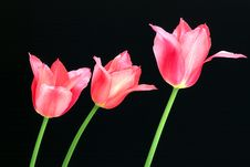 Free Tulips Royalty Free Stock Photography - 8192947