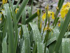 Free Yellow Iris With Rain Drops Stock Image - 8193501