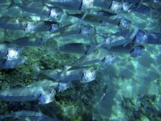 Free Close Up Of Fish School. Royalty Free Stock Photos - 8195478