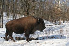 Free Buffalo Royalty Free Stock Photo - 8195925