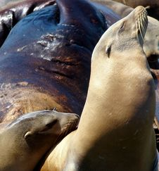 Free Lovable Sea Lions Royalty Free Stock Image - 8196156