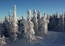 Free Snow-covered Trees Royalty Free Stock Photos - 8197248