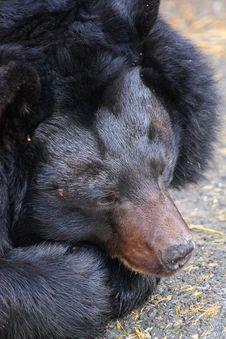Free Black Bear Stock Photo - 8197400
