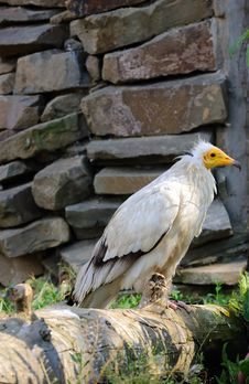 Free Egyptian Vulture Stock Image - 8197401