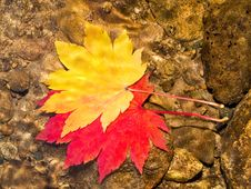 Free Pair Of Maple Leaves In Forest Stream Royalty Free Stock Images - 8198539