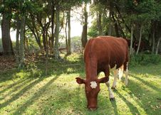 Free Backlit Cow Stock Photos - 8198563
