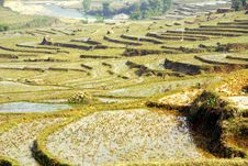 Free Rice Fields Stock Images - 8198604