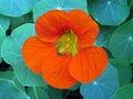Free Orange Flower Stock Image - 826421