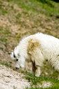 Free Mountain Baby Goat Royalty Free Stock Photo - 826945
