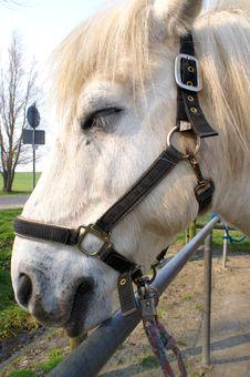 Horse White Head Stock Photography