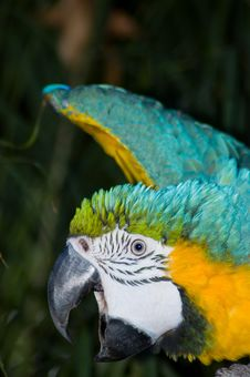 Free Stretching Macaw Royalty Free Stock Photo - 821975