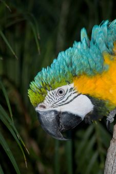 Free Macaw Head Shot Royalty Free Stock Image - 821986