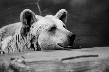 Free Black & White Brown Bear Stock Photos - 822143