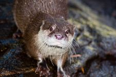 Free Inquisitive Otter Royalty Free Stock Photos - 822148
