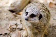 Free Scurrying Meerkat Stock Photos - 822213