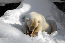 Free Hungry Polar Bear Royalty Free Stock Photography - 823037