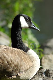 Black Necked Goose Stock Photography