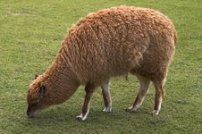 Free Young Llama Pasturing On Green Grass Royalty Free Stock Images - 824109