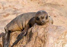 Free Baby Seal Stock Photo - 824140