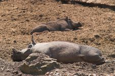 Free Happy Pigs Sleeping In Mud Stock Image - 824331