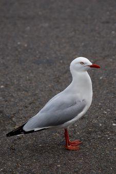 Urban Seagull Stock Photography