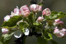 Free Wild Apple Stock Images - 825584