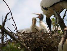 Nest Of Chicks Stock Image