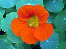 Free Orange Flower Stock Image - 826421