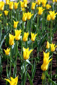 Free Tulips. Royalty Free Stock Photos - 826788
