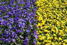 Free Tulips. Royalty Free Stock Photo - 826845