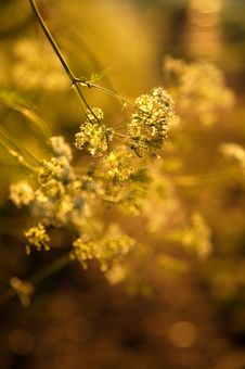 Free Cowslip In The Gloden Sun Royalty Free Stock Photo - 826885