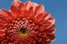 Free Dahlia Royalty Free Stock Photography - 827177