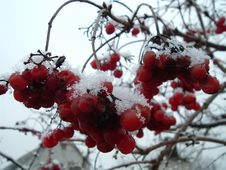 Free Viburnum Red Royalty Free Stock Photography - 827317