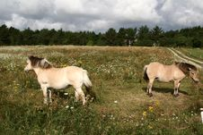 Free Danish Horses 01 Royalty Free Stock Images - 827409