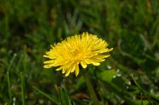 Free Dandelion Flower Stock Photography - 827682
