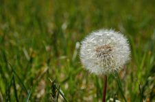 Free Puffy Dandelion Stock Images - 827694