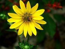 Free Yellow Daisy With Insect Royalty Free Stock Photo - 828025