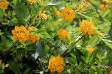 Free Lantana Stock Photography - 828252