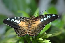 Clipper (parthenos Sylvia) On Leaf 2 Stock Images