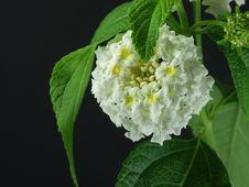 Free White Flower Royalty Free Stock Photos - 828448