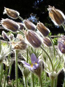 Free Spring Anemone Stock Image - 828531