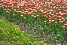 Free Tulips Royalty Free Stock Image - 828536