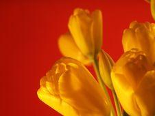 Free Yellow Tulip Royalty Free Stock Image - 828586