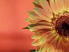 Free Yellow Daisy Stock Photography - 828592