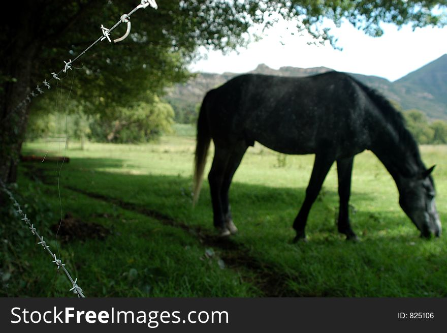 Fenced Horse