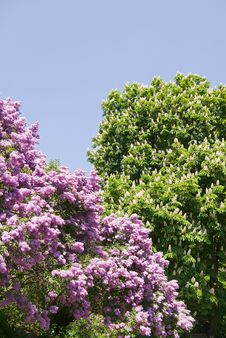 Free Lilac Tree Royalty Free Stock Image - 8200006