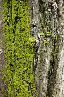 Free Mossy Bark Royalty Free Stock Images - 8200759