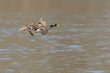 Free Mallards In Flight Royalty Free Stock Images - 8200849