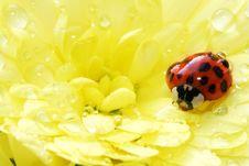 Free Beautiful Ladybug On A Yellow Flower Royalty Free Stock Images - 8200879